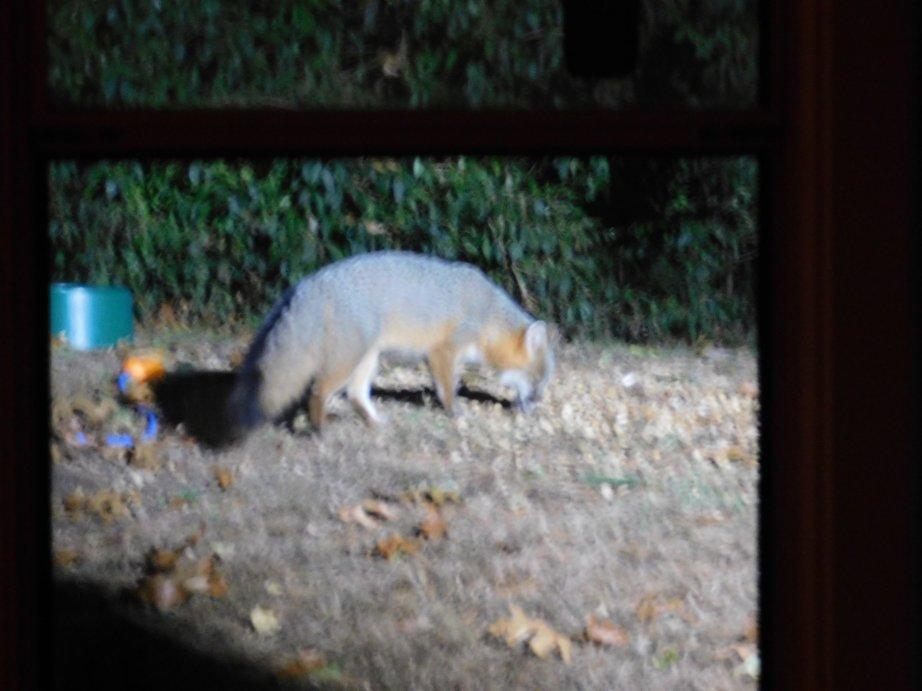 Vasch the Fox